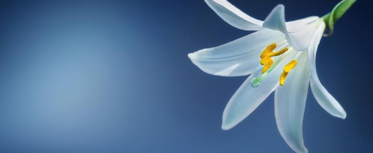 Viser bilde av en hvit lilje med blå bakgrunn