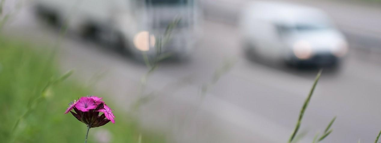 Miljøforurensing fra biler. Ser bilde av en blomst i veikanten.