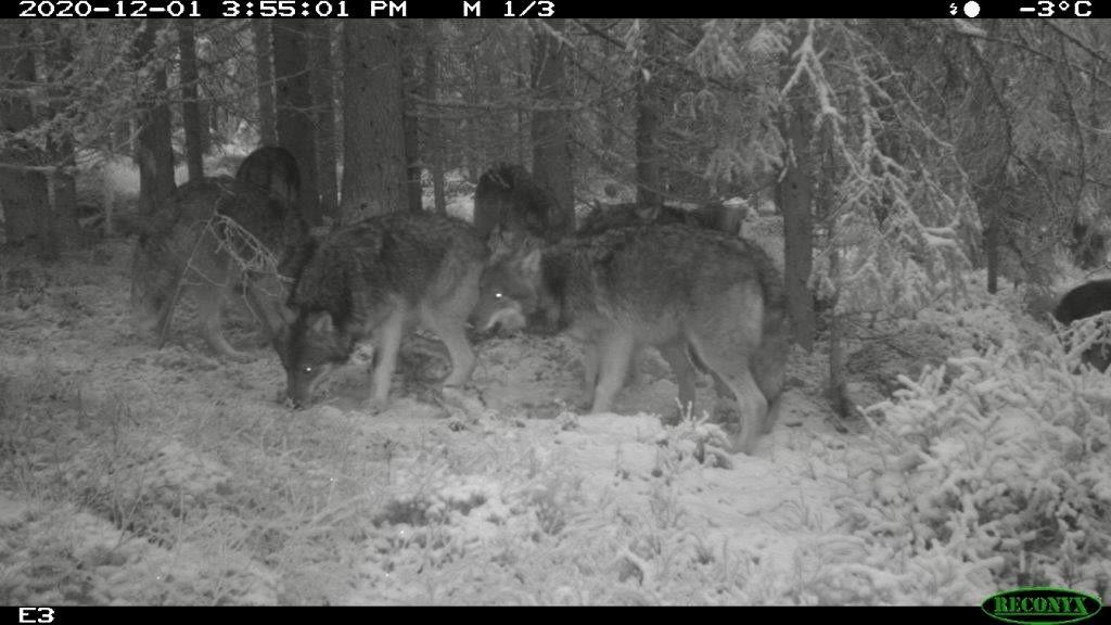 Viltkamera som har tatt bilde av ulv.